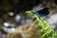 laurianne libellule_1