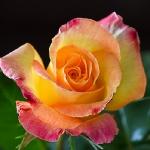 Mignonne allons voir si la rose..._2