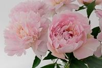 Pivoine, superbe fleur du mois de Mai_1