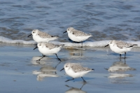 Becasseaux sanderling_1