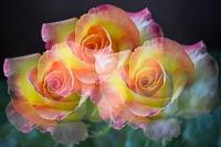 Mignonne allons voir si la rose..._1