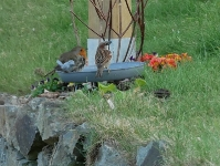 Oiseaux au jardin_2