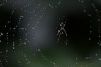 Au royaume des perles d'eau pour une petite araignée_1