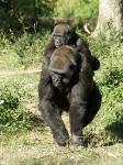 Famille gorille_1