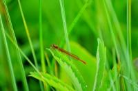 La libellule rouge_1