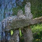 Magnifique famille de panthères des neiges_1