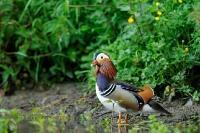 canard Mandarin_2
