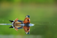 canard Mandarin_3