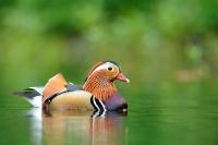 canard Mandarin_4