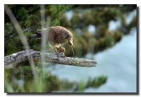 Dans l'intimité du Faucon Crécerelle_5