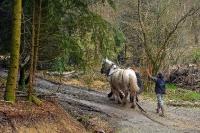 Débardage à l'aide de chevaux_1