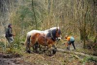 Débardage à l'aide de chevaux_2