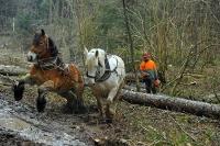 Débardage à l'aide de chevaux_3