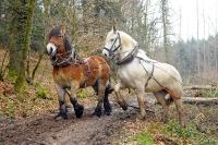Débardage à l'aide de chevaux_4