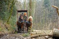 Débardage à l'aide de chevaux_8