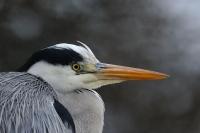 Oiseaux des marais_4
